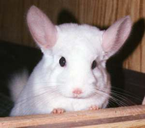 whitechinchilla.jpg