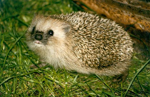 wildhedgehog.jpg